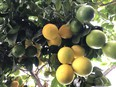 Citrus plants not only offer great foliage and intensely perfumed flowers, but also fruit too.