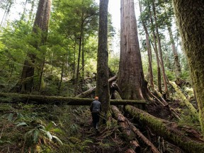 A forest protector walks up to the trees near Port Renfrew, on Tuesday, April 6, 2021.