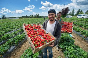 Workers at Maan Farm in Abbotsford display their products on June 1st.  U-pick strawberries will be ready at any time.