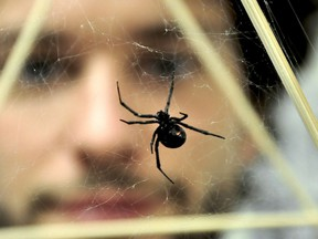 Andreas Fischer, an SFU Ph.D. candidate, with a black widow spider in a lab.
