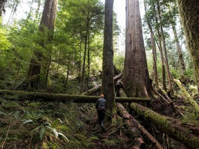A forest protector walks through the trees near Port Renfrew on Vancouver Island.