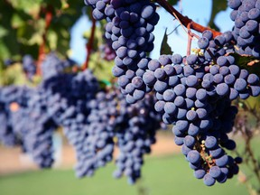 Ripe merlot grapes in a Napa Valley vineyard. Merlot constitutes just nine per cent of Napa's vines, while cabernet sauvignon accounts for 51 per cent and chardonnay 13 per cent. Twenty-one per cent of vineyard acreage is planted to white grapes.