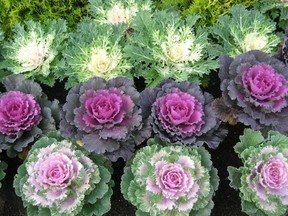 There are many wonderful 'ornamental' cabbage and kale varieties to brighten up a fall garden.