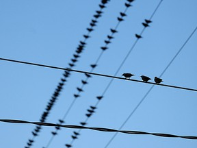 Birds on a wire are shown in Windsor, Ont. in this 2010 file photo. (Tyler Brownbridge / The Windsor Star)