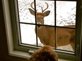 """I wanted to share a photograph taken this past week at our home in Amherstburg on Bob-lo Island, also where our 12 year old Golden Retriever """"Basil"""" resides. It just so happens, there is quite the population of wildlife on the island and we were able to capture a great moment with our dog, Basil, looking out the kitchen window into the eyes of the resident island """"buck"""". Luckily for the buck, Basil's default response to everything is to stare and wag his tail - not the least bit threatening. Although it does make me wonder, what he might be thinking spotting this animal in """"his"""" yard or vice versa. (Reader Photo/Special to The Star)"""