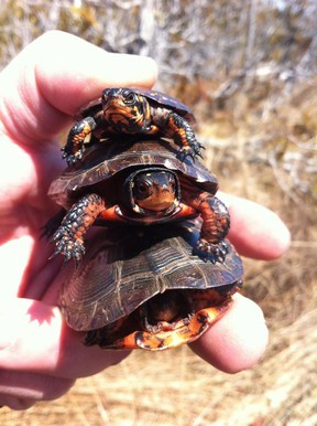 The endangered spotted turtles shown were once fairly widespread in Essex County. (Photo courtesy of Steve Marks)