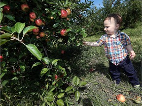 Aiden McKenzie picks apples with his parents Mark McKenzie and Jennifer Piazza at Wagner Orchards in Lakeshore on Tuesday, September 15, 2015. Local apple growers were spared some of the  weather damage suffered by other Ontario orchards this year.                             TYLER BROWNBRIDGE