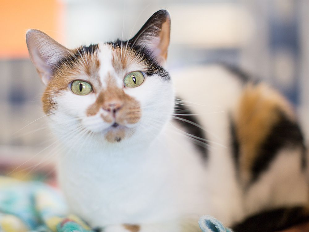 Shelby is a sweet girl who loves a good head scratch. With her gorgeous colouring, she is one pretty girl. Stop by and meet Shelby today at the Windsor/Essex County Humane Society, 1375 Provincial Rd., Windsor. Phone 519-966-5751.