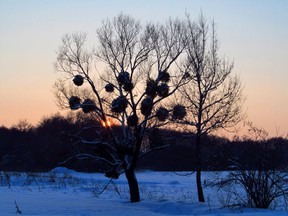 A tree with mistletoe against the evening winter sky. Photo by Getty Images.