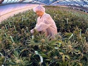A worker trims marijuana plants on Feb. 18, 2016, at the Aphria greenhouses in Leamington.