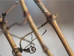 Buds on grape vines, pictured at Viewpointe Estate Winery, are shown Thursday, Jan. 31, 2019. Damage to grape crops from this winter's deep freeze is not as bad as feared.
