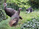 Happy Thanksgiving! A pair of wild turkeys that wandered into Walkerville drew the attention of an urban neighbourhood cat while resting in a bed of ivy in a Chilver Road yard on Friday, Oct. 11, 2019, just days from a holiday when many Canadians sit down to a holiday turkey meal. These turkeys had no problem extricating themselves from this situation.