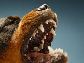 A barking Rottweiler is shown in this 2016 file photo.