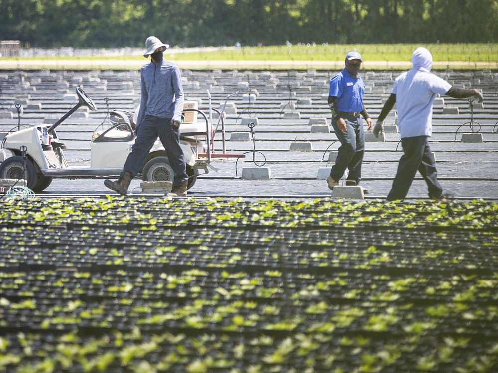 Migrant workers work in the fields on a farm in Kingsville, Wednesday, June 17, 2020.