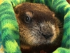 Winnipeg Wyn, the Winnipeg groundhog, is predicting an early spring, the Prairie Wildlife Rehabilitation Centre announced on Saturday, Feb. 2, 2019.