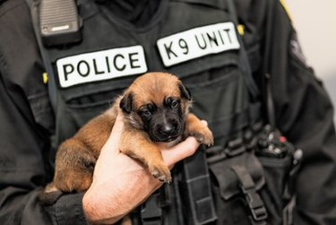 Handout photo provided by Winnipeg Police Service. The Winnipeg Police Service K9 Unit held a press conference at the WPS Canine Unit training centre on Friday, Oct. 23, 2020, to formally introduce five of a litter of seven puppies born into its in-house breeding program on Sept. 1. This is the first time a litter has been bred through the program using artificial insemination. The pups' mother is Police Service Dog (PSD) Ellie using the sperm of former PSD Judge, who provided samples nine years ago for the artificial insemination. The process allows WPS to combine the highly sought-after traits of former PSD Judge and PSD Ellie to ensure the highest quality K9s are working alongside officers in the community's service. Judge retired from the service in 2014 and passed away in 2015.
