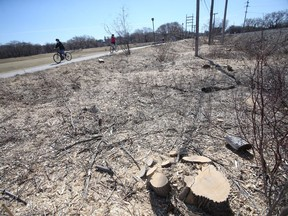 Stumps remain where Manitoba Hydro cut trees on it's property near Omand Park, in Winnipeg. Area residents mourned the loss of the trees.   Saturday, April 10, 2/2021.